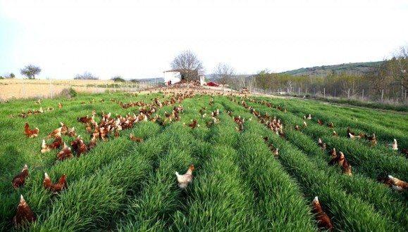 Organik Tavuk Çiftliği Kurmak Hakkında