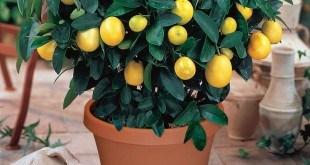 Minyatür Limon Ağacı Yetiştirmek ve Satmak ( Saksıda )