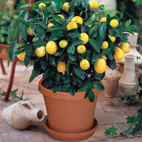 Minyatür Bodur Limon ( Saksıda )
