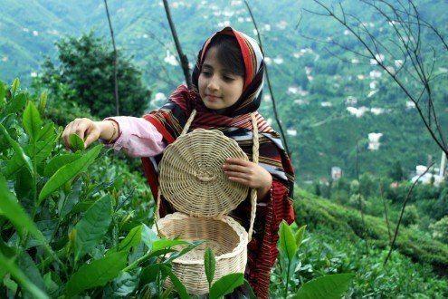 Beyaz Çay Üretimi Hakkında