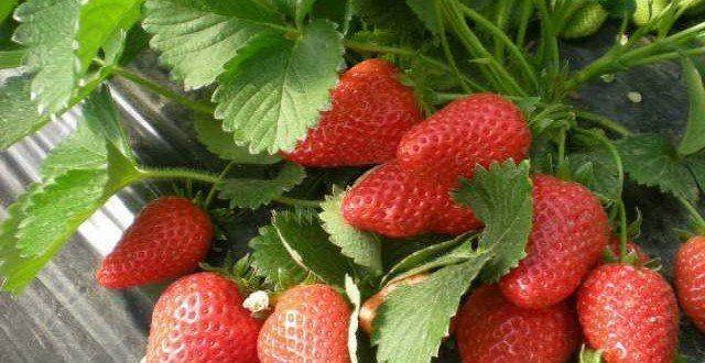 Organik Çilek Satışı ve Yetiştiriciliği