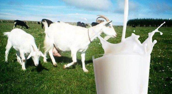 Keçi Sütü Üretimi