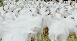Keçi Sütü Üretim Çiftliği