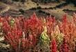 Kinoa (Quinoa) Yetiştiriciliği
