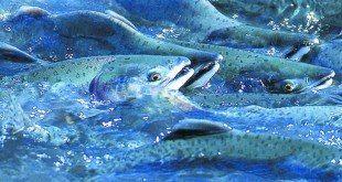 Somon Balığı Satışı ve Yetiştiriciliği