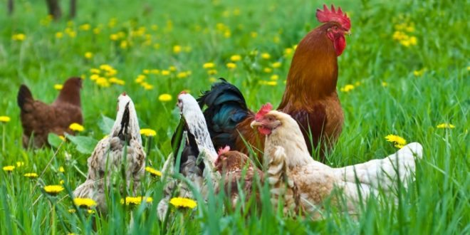 Organik Yumurta Üretmek
