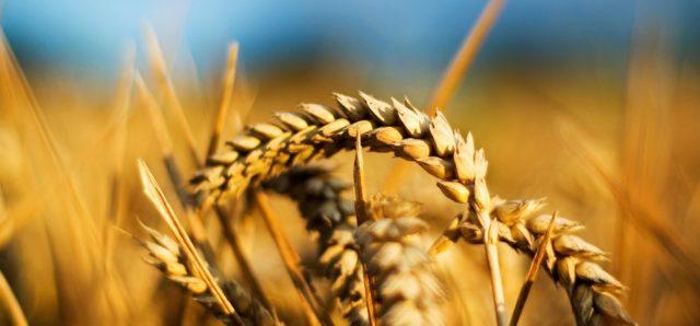 Buğday Üretimi