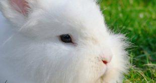 Angora Tavşanı Yetiştiriciliği