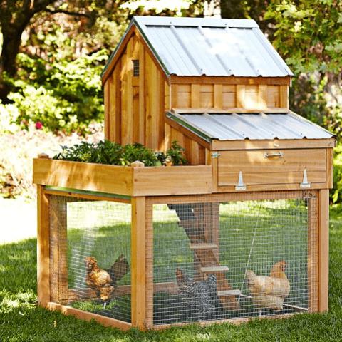 Kümeste Tavuk Yetiştirmek