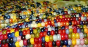 Renkli Mısır Yetiştiriciliği