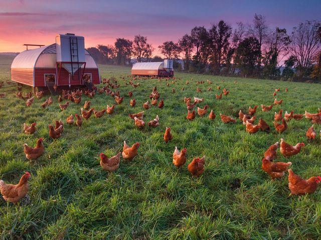 Organik Tavuk Çiftliği Kurmak İstiyorum