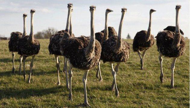 deve kuşu yetiştiriciliği