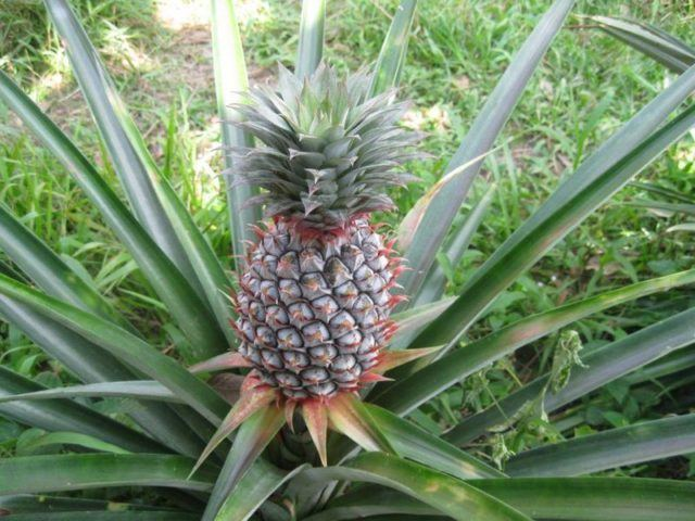 ananas yetiştiriciliği
