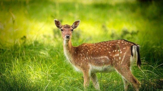 geyik yetiştiriciliği