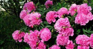 Şakayık Çiçeği Yetiştiriciliği