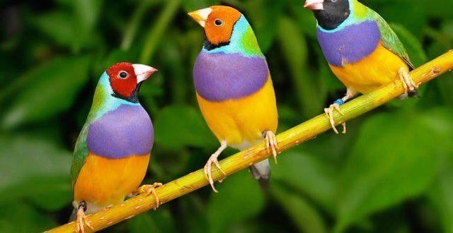 Golden Finch ( Gökkuşağı İspinozu ) Üretimi