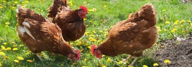 yumurta tavuğu yetiştiriciliği