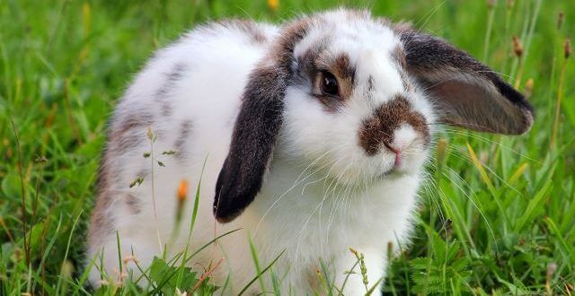 Tavşan Yetiştiriciliği