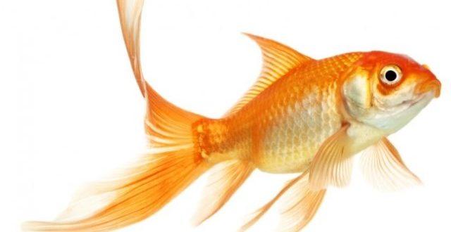 Evde Japon Balığı Üretimi