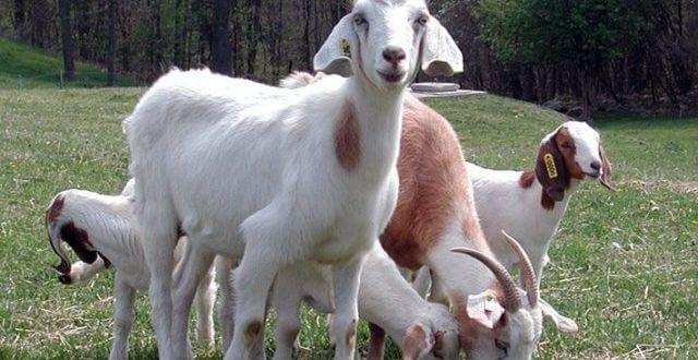 Küçükbaş Hayvancılık Teşvikleri