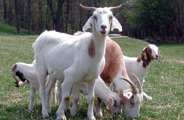 keçi sütünü nereye satabilirim